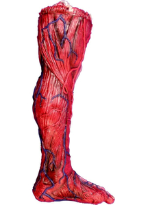 Skinned Left Leg